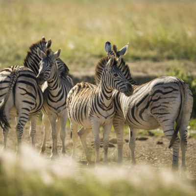Ndaka safari lodge - zebra's at Nambiti big 5 private game reserve