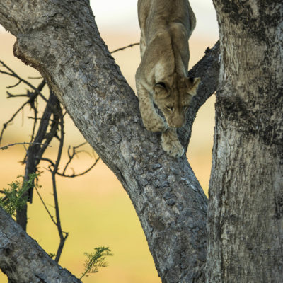 Ndaka safari lodge - lion climbing a tree