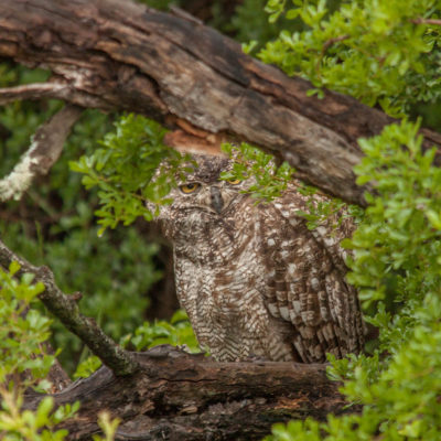 Ndaka safari lodge - owl at Nambiti big 5 private game reserve